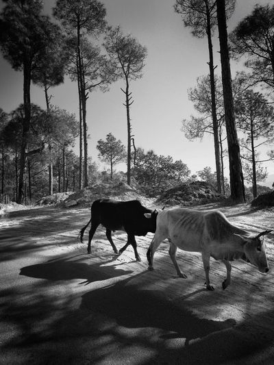 Let's Go Home Evening Stroll Heading Home Gpmzn Leica Photography. EyeEm Best Shots Sky Cattle Cow Grazing Farm Animal Domestic Cattle Pasture Herbivorous Calf