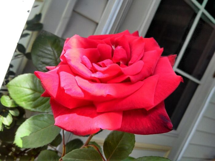 G's Red Roses