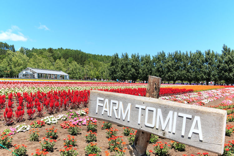 Furano, Japan - July 8,2015: flowers of the Tomita farm in Hokkaido with some tourists on background. Architecture ASIA Biei Blue Bridge Bridge - Man Made Structure Built Structure Cloud Connection Day Flower Flowers Freshness Furano Growth Hokkaido Japan Nature Otaru Plant Red Sky Spring Travel Tree