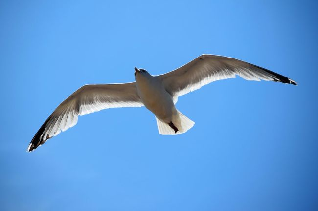 Animals In The Wild At The Beach Beach Photography Bird Blue Clear Sky Day Flying Full Length Gull Low Angle View Mid-air Nature Nature No People On The Beach One Animal Outdoors Sea Gull Seagull Seaside Sky Space For Copy Spread Wings