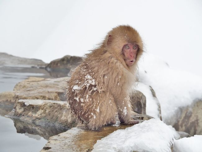 Portrait of a Japanese macaque (snow monkey) with surprise face in hot spring onsen at Jigokudani Monkey Park in Nagano prefecture, Japan. Animal Animal Themes Animal Wildlife Animals In The Wild Baby Cold Temperature Cute Day Face Funny Japan Japanese Macaque Mammal Monkey Nagano Nature No People One Animal Outdoors Snow Snow Monkey Surprise Surprise Face Wildlife Winter