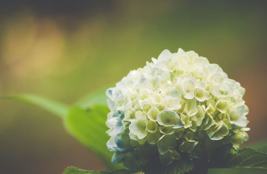 hydrangea blossom Beauty In Nature Blooming Blossom Botany Close-up Day Flower Flower Head Focus On Foreground Fragility Freshness Growth Hydrangeas In Bloom Nature No People Outdoors Petal Plant Pollen Selective Focus Softness Stamen White White Color