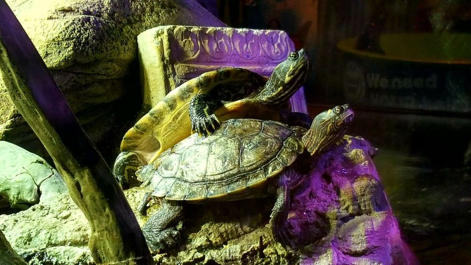 Awwww hugs....😉😄😄 Aquarium Turtles Sealife Sealifecentre For Anyone Whos Interested Nature Photography Naturelovers Day Out With Family Photography Is My Escape From Reality! Because 🌟i🌟can😛 Hugs Animal Photography Purple No People