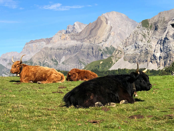 Cows on field against mountain range