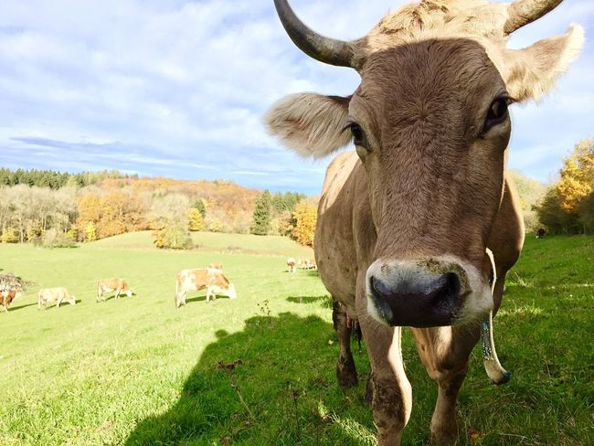 Animals Cows Beautiful Animals