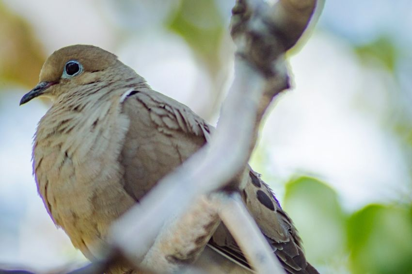 Perched Bird Bird Watching Mourning Dove EyeEm Selects Animal Themes Animal Wildlife Animals In The Wild Vertebrate Animal Bird One Animal Focus On Foreground Perching No People Plant Close-up Tree Nature Branch Beauty In Nature Dove - Bird Low Angle View