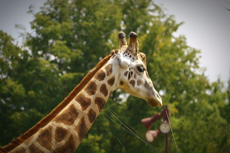 Giraffe Animal Wildlife Animal One Animal Animals In The Wild Animal Head  Nature No People 3XPSUnity 3XPUnity Beauty In Nature Animal Themes Nature
