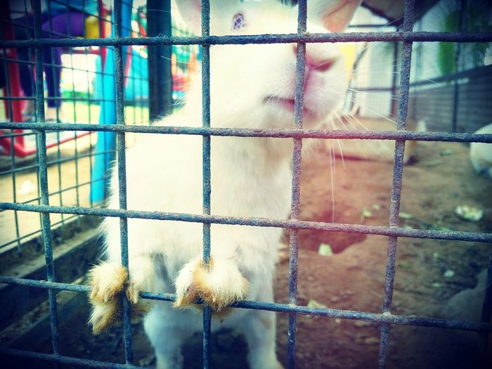 Rabbits 🐇 White Animal Photography Animal Love ♥ Rabbit ❤️ PhonePhotography Caged :( Caged Beauty Rabbitteeth Easter Ready EyeEm Animal Lover Cute Rabbit ,bunny Bunny 🐰 Animal Lover😍😍😍