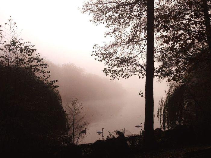 Fog Swan Foggy