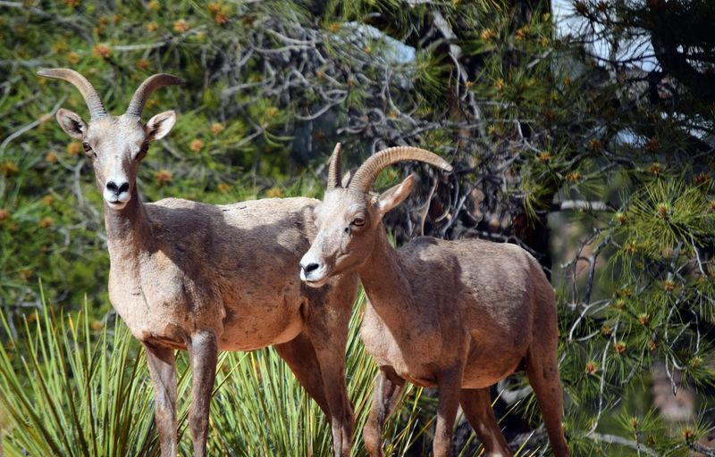 Big Horn Sheep Zion National Park Animal Animal Family Animal Themes Animal Wildlife Animals In The Wild Day Domestic Animals Focus On Foreground Group Of Animals Herbivorous Herd Land Looking At Camera Mammal Nature No People Outdoors Plant Portrait Standing Tree Two Animals Vertebrate