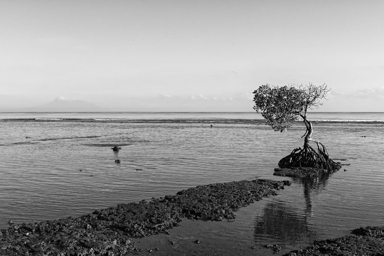 Mangrove Tree Idyllic Single Tree Tranquil Scene Beauty In Nature Nature Scenics - Nature Tree Sea Shore Mangrove Mangrove Tree Ecology Environment Conservation Biodiversity Bw Fine Art Artistic Beach Reflection Copy Space Backgrounds One Tree Concept Tranquility