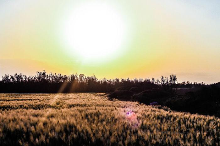 🌾🍃☀️🌅 50 Agriculture Beauty In Nature Bright Colors Bright Lights Campo Di Grano Field Field Grano Grass Growth HDR Landcape Landscape Landscape_Collection Nature Rural Scene Scenics Sunest Sunlight Sunset Tranquil Scene Tranquility Yellow Yellow Color