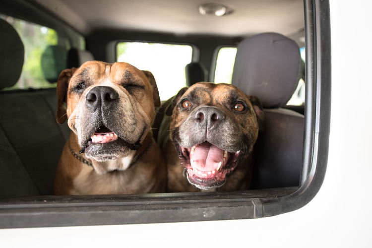 Dogs love the Car Dogs Dogs In Cars Dogs Of EyeEm Animal Themes Car Car Interior Close-up Day Dog Domestic Animals Land Vehicle Looking At Camera Mammal Mode Of Transport No People Outdoors Pets Portrait Sitting Transportation Vehicle Interior Vehicle Seat