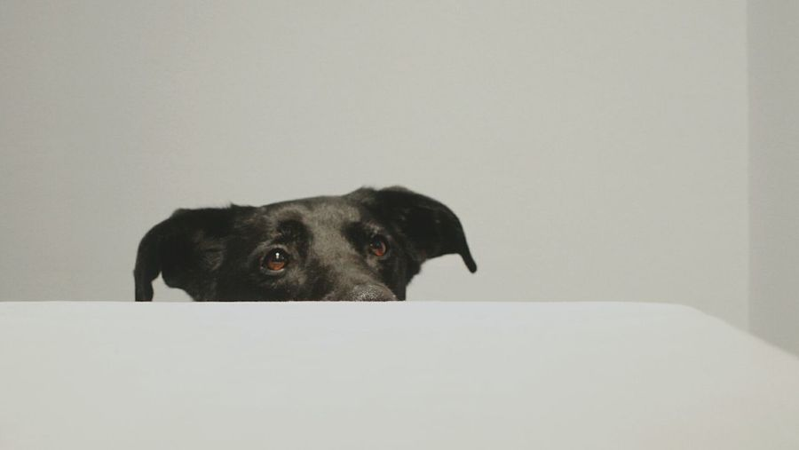 Portrait of dog against white background