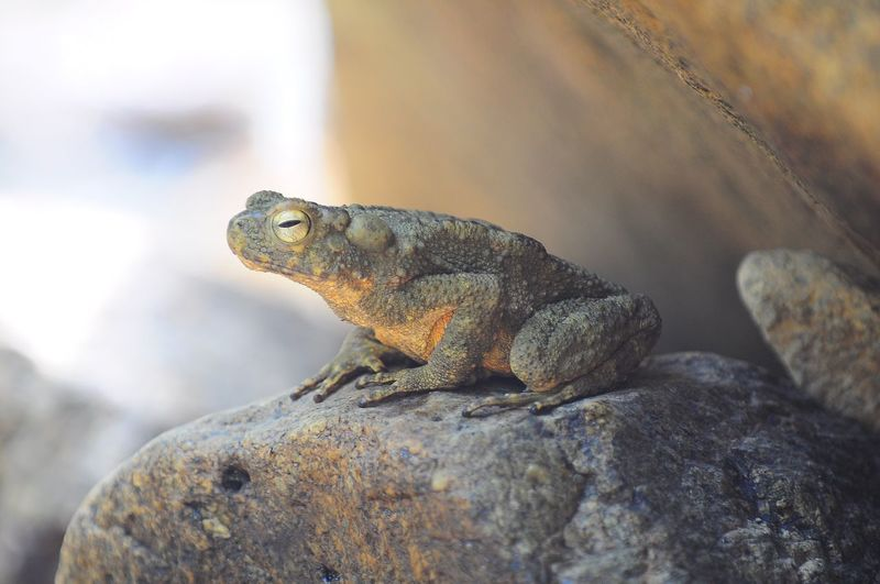 Giant frog sitting on the stone near the river Animal Themes Reptile One Animal Animals In The Wild Close-up Nature Outdoors Animal Wildlife