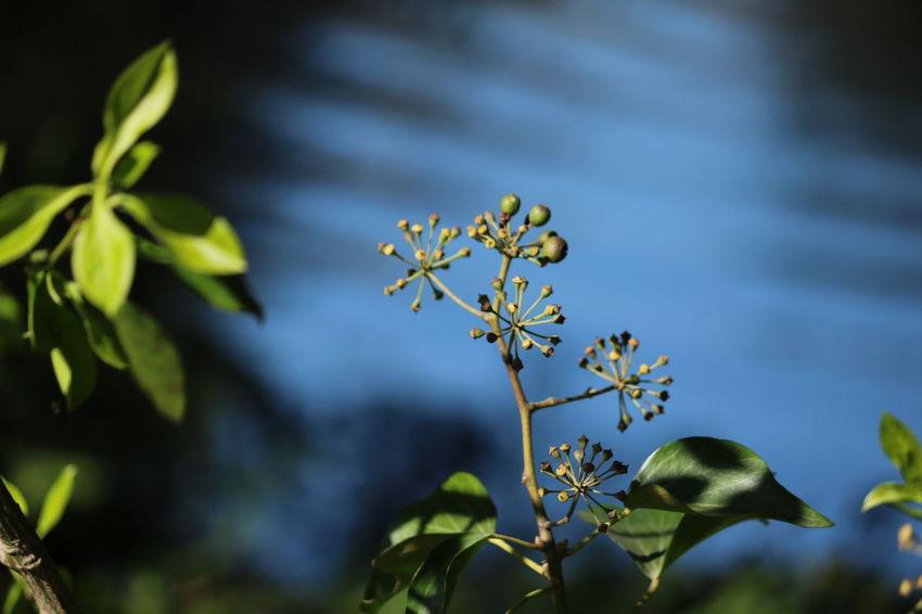 Verweile nicht in der Vergangenheit, träume nicht von der Zukunft. Konzentriere dich auf den gegenwärtigen Moment (Buddha) Während ich nach einem günstigen Standort für ein Foto mit Blick auf den See suchte, offenbarte eine Lücke im Gebüsch ihr kleines Geheimnis... ein Sonnenstrahl kitzelte Blätter und Blütenstände und der blaue Himmel spiegelte sich im Wasser mit einer unglaublichen Intensität. Blau und Grün .... eine wunderbare Komposition 💙💚und für mich ein unverhofftes Mittagspausenglück! Exceptional Photographs Eye4nature Eye4photography  EyeEm Best Shots - Nature EyeEm Nature Collection EyeEm Nature Lover Getting Inspired In The Park Ladyphotographerofthemonth Mittagspausenglück Nature On Your Doorstep Nature Photography Poetry Reflections Reflections In The Water Simple Beauty The Purist (no Edit, No Filter) Things That Are Green Untamed Heart Walking Around