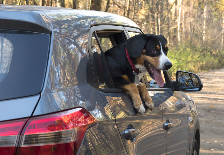 Entlebucher Mountain Dog looks out of the car window. Autumn; Fall; Dog; Forest; Window; Animal; Nature; Car; Pet; Park; Green; Trees; Mammal; Wood; Cute; Road; Voyage; Trip; Vacation; Happy; Leaf; Breed; Autumn; Friends; Play; Path; Puppy; Domestic; Purebred; Black; Beautiful; Colours; Brown; Canino; Shephe Car One Animal Motor Vehicle Mode Of Transportation Dog Canine Transportation Mammal Domestic Animals Animal Themes Pets Land Vehicle Domestic Animal Day Vertebrate No People Outdoors Looking Focus On Foreground Animal Head  Road Trip