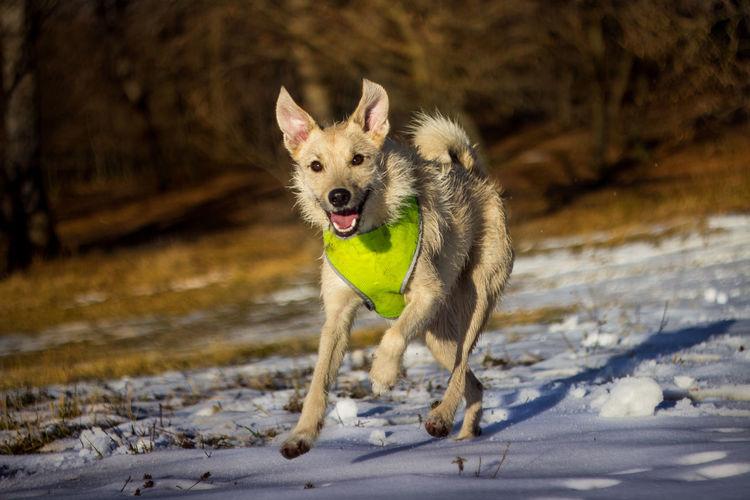 Portrait of dog running on snow