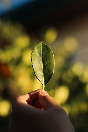 Close-up of hand holding leaf as sunlight hits it
