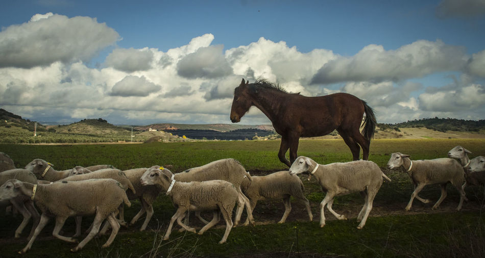 Horse and sheep on landscape against sky
