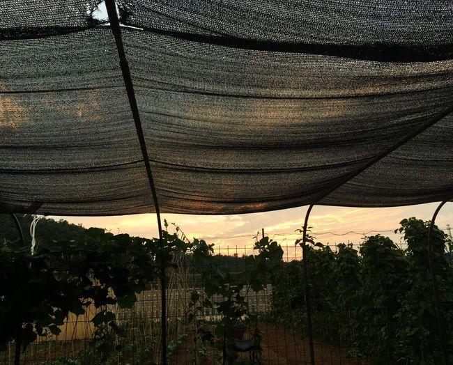棚下夕阳 Tree Nature Sunset Growth Plant Outdoors Beauty In Nature Day No People Architecture Paint The Town Yellow EyeEmNewHere