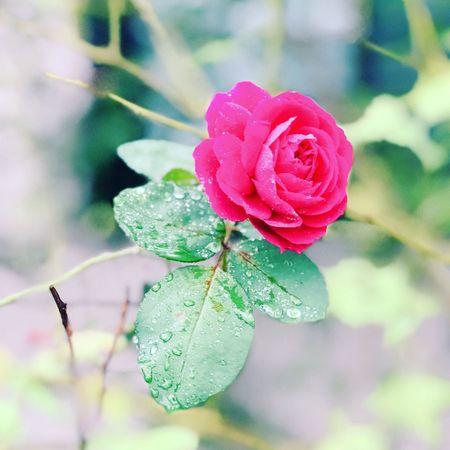 花ヲ撮ル 三月十一日 3.11 No Standard World Flower Nature Focus On Foreground Rose - Flower Drop