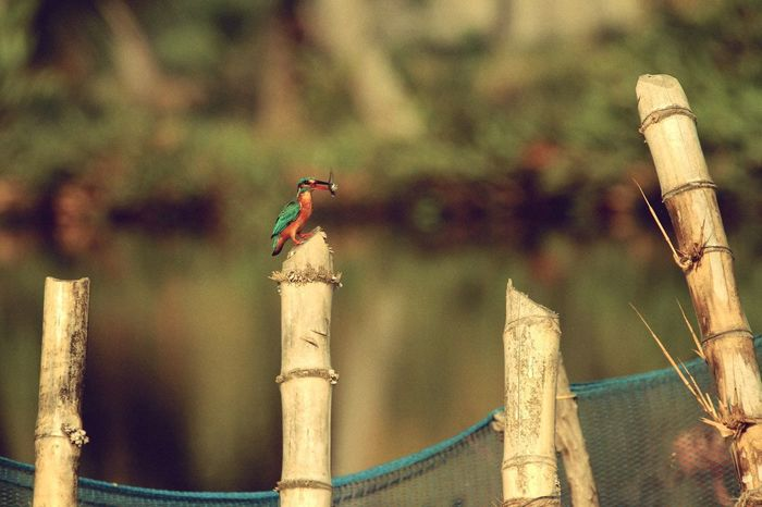 Bird Animal Themes Animals In The Wild Perching Focus On Foreground Animal Wildlife One Animal No People Nature Outdoors Day Kingfisher Fishing Fish Fisherman Water Portrait Fishing Net Birds Bird Watching EyeEm Best Shots Check This Out in Munroe Island , Kerala India MISSIONS: The Great Outdoors - 2017 EyeEm Awards The Portraitist - 2017 EyeEm Awards Lost In The Landscape