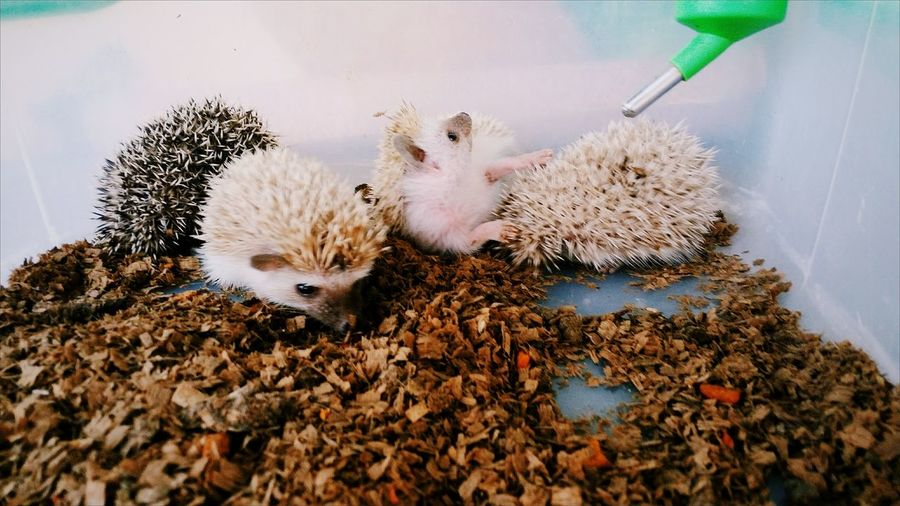 Close-Up Of Baby Hedgehogs In Cage