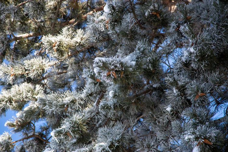 Full frame shot of pine trees during winter