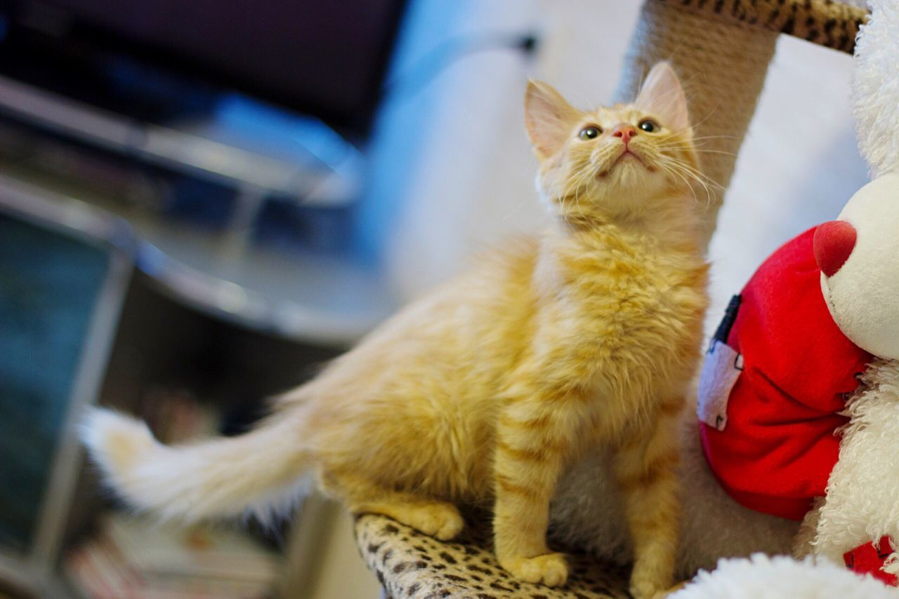 domestic cat, pets, domestic animals, feline, mammal, one animal, animal themes, indoors, cat, whisker, home interior, sitting, no people, day, kitten, close-up, persian cat