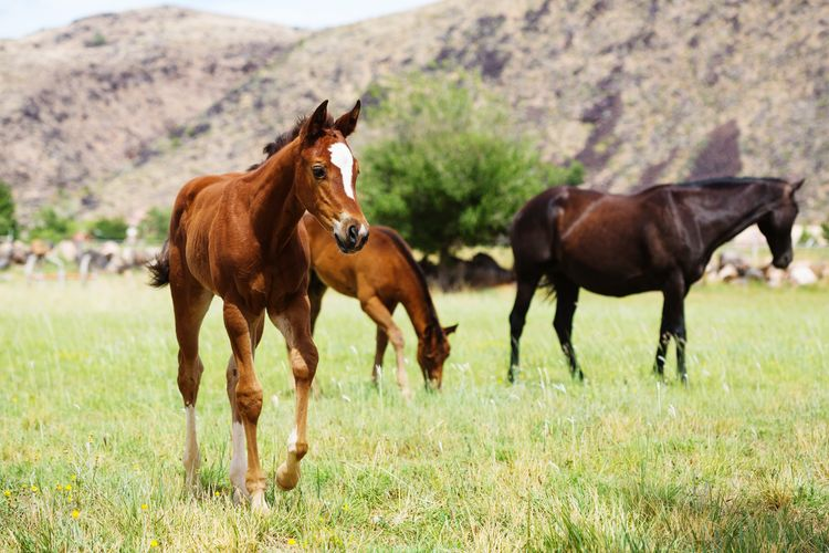 horses in field Farm Equine Young Animal Green Grass Quarter Horse Baby Horse Horse Photography  Horses Mother And Baby Herd Rural Cute Cute Animals Baby Animals Full Length Rural Scene Agriculture Field Brown Horse Grass Livestock Foal Pony Herbivorous Pasture Ranch Grazing Grass Area