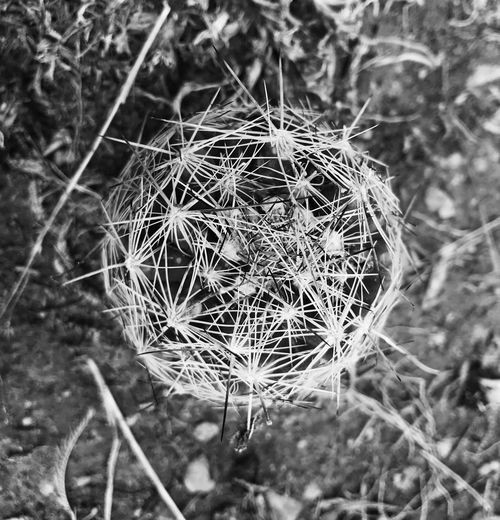 """""""Pins and Needles"""" A small cactus displays its defense system to anything willing to attempt further encroachment. Close-up Blackandwhite Black And White Blackandwhite Photography Cactus Spikes Needles Sharp Nature"""
