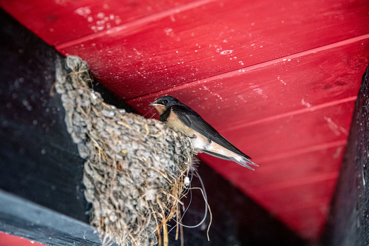 Swallow in the