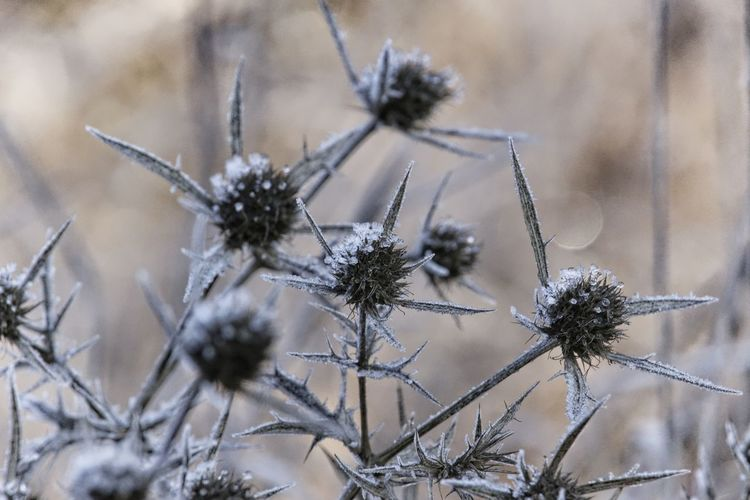 Frosty Winter Cold Temperature Close-up Focus On Foreground Nature Frozen Fragility Ice Beauty In Nature Frost Thistle Beautiful Nature Frozen Nature Cold Days Cold Winter ❄⛄ Natural Beauty Nature Photography Naturelovers Lovely Scenics - Nature EyeEm Nature Lover Beautiful Vulnerability  Plant