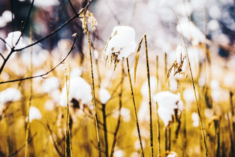 Growth Nature Plant No People Field Beauty In Nature Fragility Outdoors Close-up Tranquility Day Grass Flower Head Freshness Cotton Plant WOW Travel Nikon Epic Opentheworld Natgeo Color EyeEmNewHere EyeEmNewHere The Great Outdoors - 2017 EyeEm Awards Paint The Town Yellow EyeEmNewHere