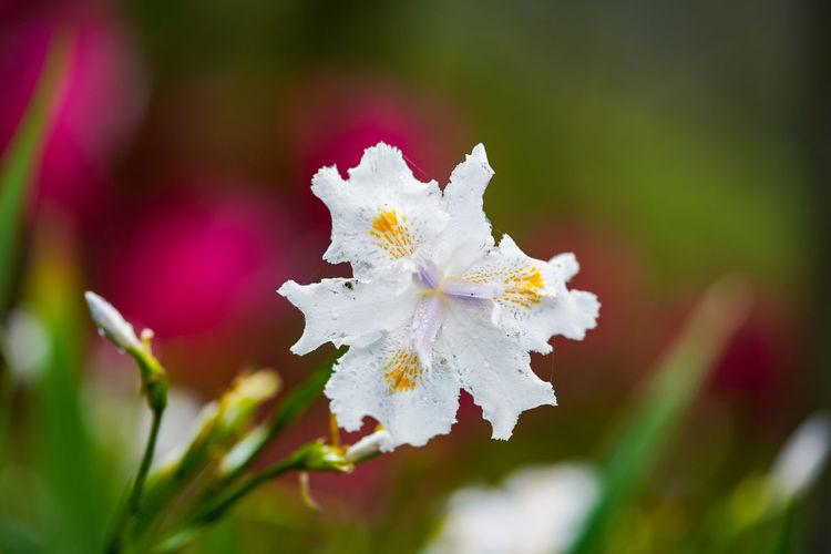 日本鳶尾(Iris