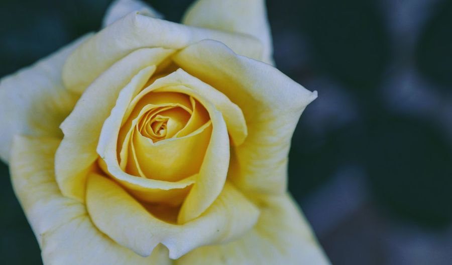 Rose - Flower Yellow Rose Taking Photos Feeling Creative OpenEdit EyeEm Best Shots Freshness Flower Collection EyeEm Nature Lover Nature Flower Head Flower Soft Focus Springtime Petal Beauty Yellow Love Close-up In Bloom Blooming