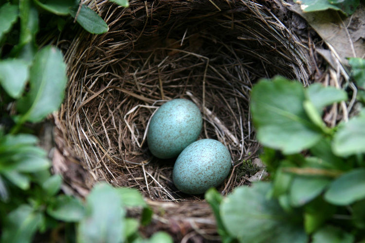 1704, blackbird nest with eggs Animal Themes Animals In The Wild Beginnings Bird Bird Nest Blackbird Close-up Day Fragility High Angle View Leaf Nature New Life No People Outdoors The Great Outdoors - 2017 EyeEm Awards