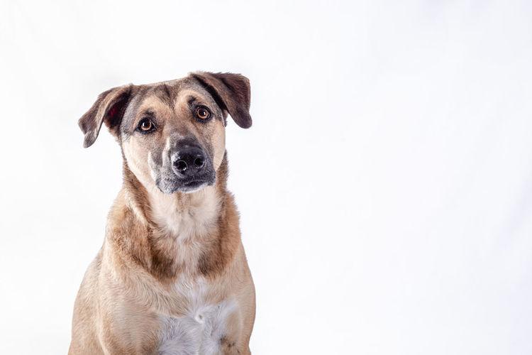 Close-up portrait of dog against white background