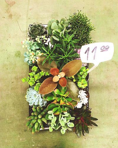 Green Succulents Cacti Cactus Plants Plants 🌱 Baby Plant Denmark Copenhagen Copenhagen, Denmark Cheap