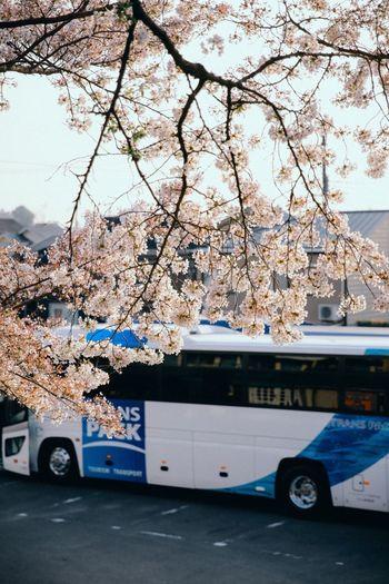 Fleeting sakura season Bus Sakura Kyoto