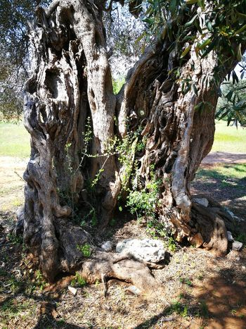 Millenary Olive Tree Tree Day Outdoors Sunlight No People Beauty In Nature Sky Nature Green Color Tranquil Scene Salento Puglia Lecce My Country Leaf Plant Green Tranquility