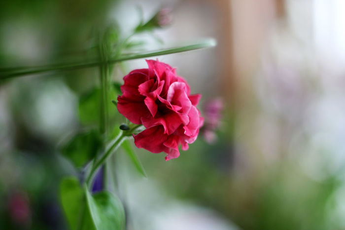 Beauty In Nature Blooming Close-up Day Flower Flower Head Fragility Freshness Growth Nature No People Outdoors Petal Pink Color Plant Red Rose - Flower