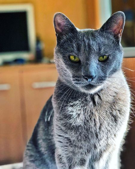 Cat Feline Mammal Animal Themes Animal One Animal Domestic Cat Domestic Animals Pets Focus On Foreground Indoors  Vertebrate Domestic No People Close-up Whisker Home Interior Portrait Looking At Camera Animal Body Part
