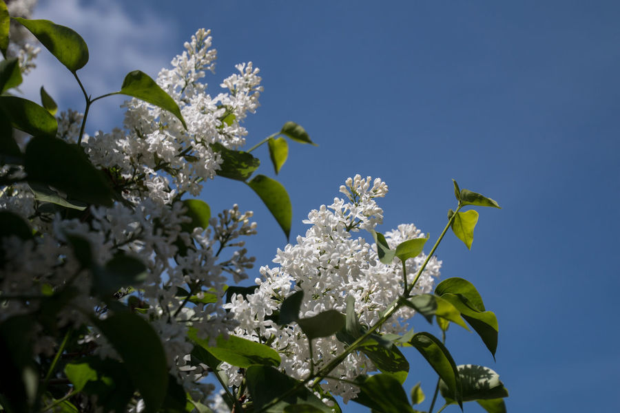 Beauty In Nature Blooming Blossom Botany Branch Clear Sky Close-up Day Flower Flower Head Fragility Freshness Growth Leaf Lilac Low Angle View No People Outdoors Petal Plant Sky Springtime Syringa