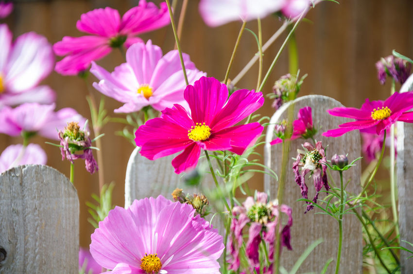 Cosmos Beauty In Nature Botany Close-up Cosmos Bipinnatus Day Flower Flower Head Flowering Plant Focus On Foreground Fragility Freshness Growth Inflorescence Nature No People Outdoors Petal Pink Color Plant Pollen Vulnerability