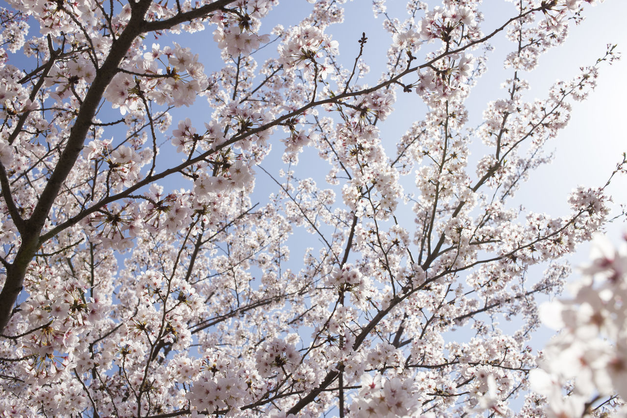 tree, low angle view, branch, blossom, flower, flowering plant, springtime, plant, fragility, beauty in nature, growth, freshness, vulnerability, nature, cherry blossom, no people, sky, day, cherry tree, white color, outdoors, spring