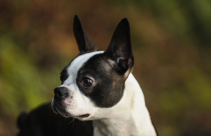Close-up of boston terrier looking away