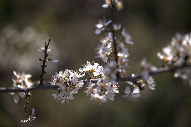 Flower Plant Flowering Plant Freshness Fragility Vulnerability  Beauty In Nature Growth Close-up Tree Nature Selective Focus Blossom Springtime Focus On Foreground Petal Branch White Color Flower Head Pollen Weißdorn (Crataegus) Hawthorn Blossom Blütenzauber