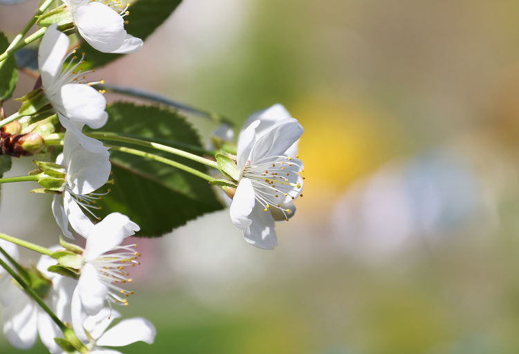Plant Flower Flowering Plant Beauty In Nature Fragility Vulnerability  Freshness Growth Petal Close-up Flower Head White Color Focus On Foreground Inflorescence Day Nature No People Selective Focus Springtime Botany Pollen Pollination